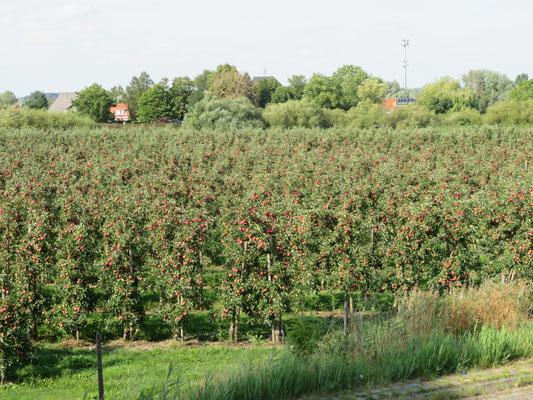 Auch an Apfelplantagen des Alten Landes bei Cranz wanderten wir vorbei.