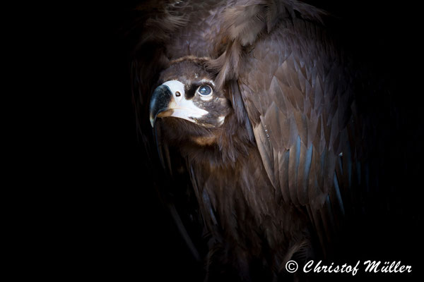 Portrait of Cinereous Vulture: His sad expression reveals a lot about the rather few promising perspectives for the future of this magnificent raptor.