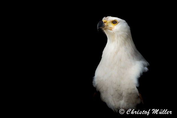 Portrait of African Fish Eagle (Haliaeetus vocifer). I tried to reduce the portrait on to the majestic countenance of this beautiful bird.