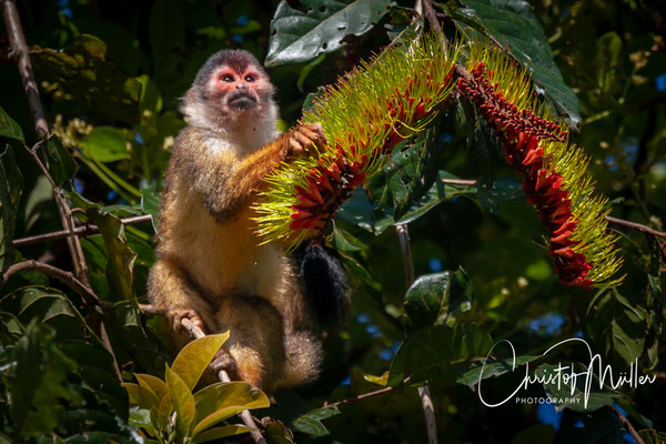 Central American squirrel monkey (Saimiri oerstedii), in Corcovado National Park is omnivorous but is also an important seed disperser and a pollinator of certain flowers