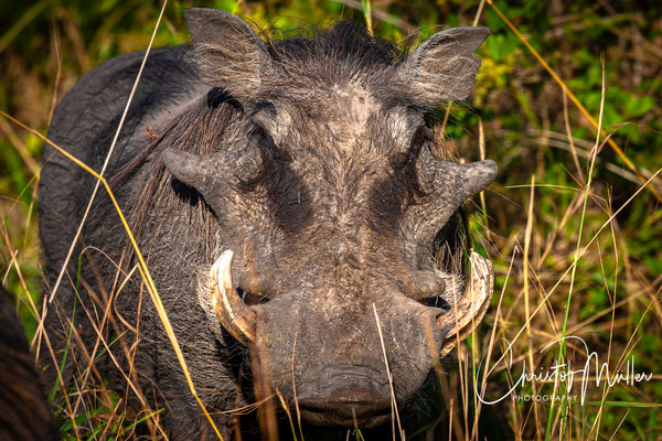 Impressive common warthog (Phacochoerus africanus)