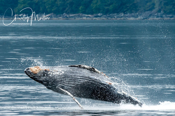 A ful breaching of a small juvenile humpback whale at Chapin Bay