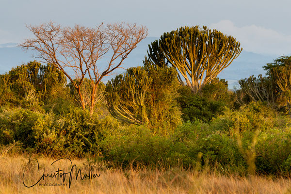 Typical savanah vegetation in QENP during sunset