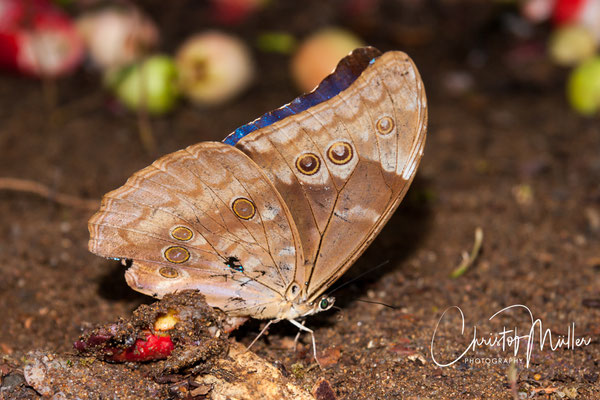 The Blue Morpho (Morpho menelaus) is common in Costa Rica and is famous for its brilliant blue color on the dorsal side of the wings and eyespots on the ventral side. both to frighten predators.