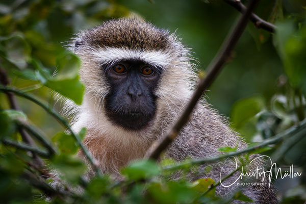 Close up of a Green Vervet Monkey (Chlorocebus aethiops)  at Bujagali Falls, Uganda