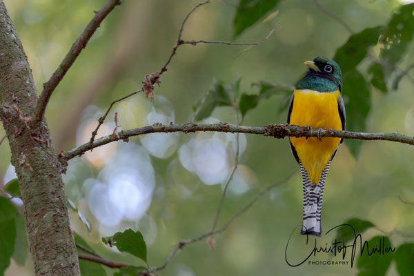 Black-throated Trogon, male (Trogon rufus) lives in humid lowland forests as here in Corcovado Nationalpark