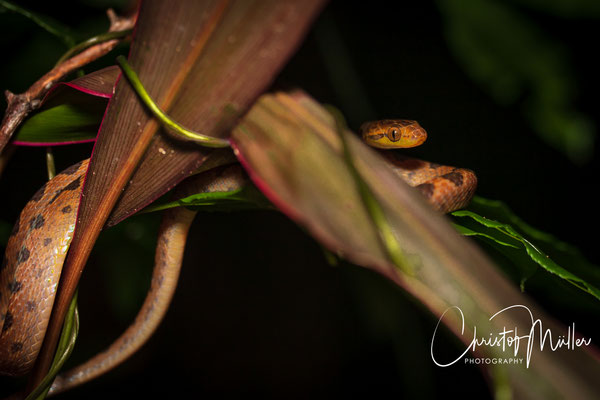 The brown blunt-headed vine snake (Imantodes cenchoa) is a nocturnal reptile and hunts small lizards like Anoles