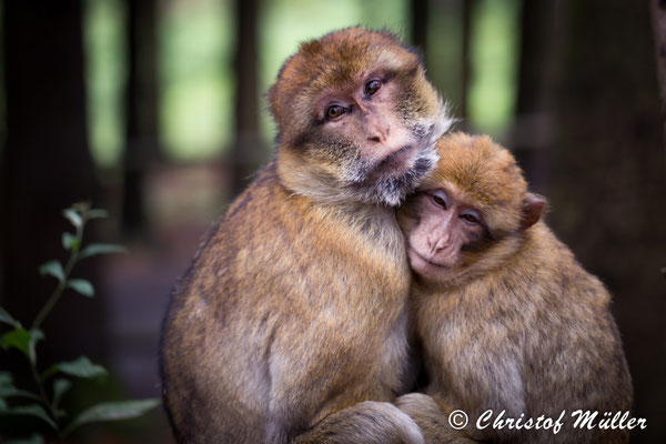 Affectionate Barbary Macaque (game drive in a German Oak Wood)