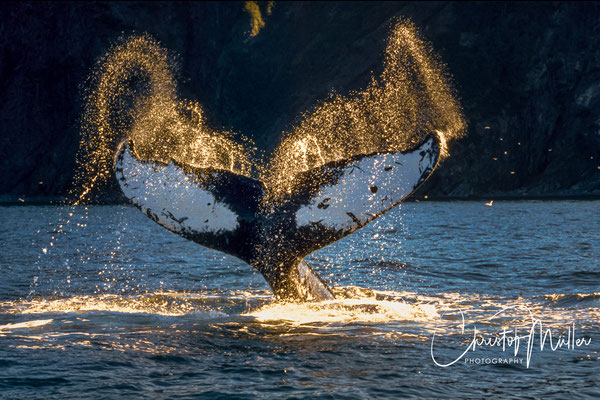 Tail slapping of a humpback whale (megaptera novaengliae) is a common seen behavior: The whale raises repeatedly its fluke (tail) out of water and slaps it forcefully on the surface of the water.