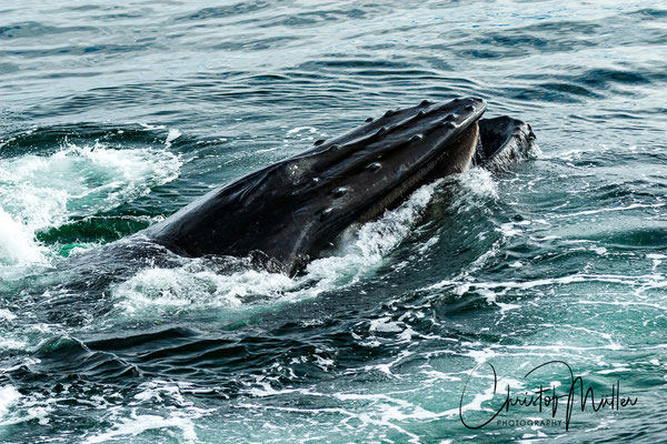 Humpback Whale filtering the prey and pushing out the excess water.