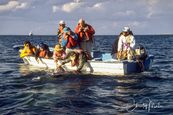 Only local fishermen are  allowed to bring you close to the whales inside the San Ignacio Laggon or Bahia Magdalena