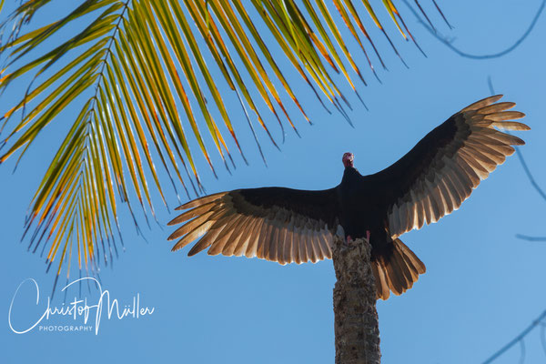 A Turkey Vulture (Cathartes aura) taking a sun bath on a perch with his extended wings in Corcovado National Park