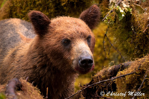Eye to Eye with a Young Grizzly Bear in Southeast-Alaska on Admiral Island.