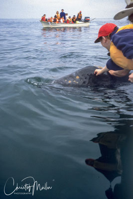 The curous young Gray Whales approach the skiffs that it is possible to touch the whales and to scratch them (if it is a benefit for them is another question)