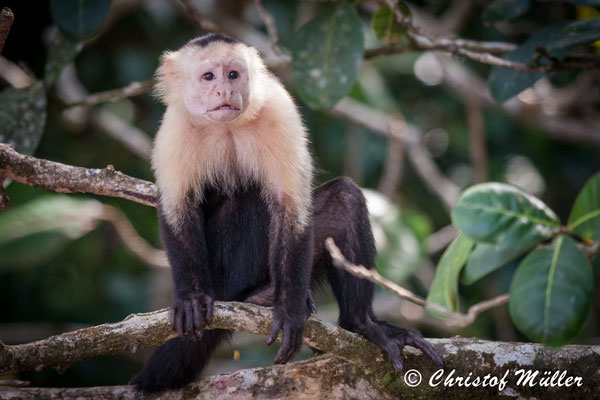 Scared Capuchin Monkey following my behavior in Corcovado National Park in Costa Rica