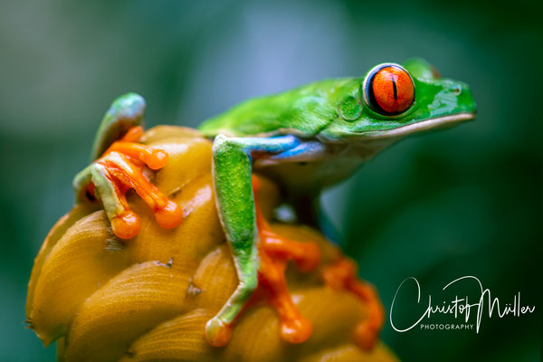 Agalychnis callidryas, known as the red-eyed treefrog has a vibrant green body with orange feet and blue vertically stripes.