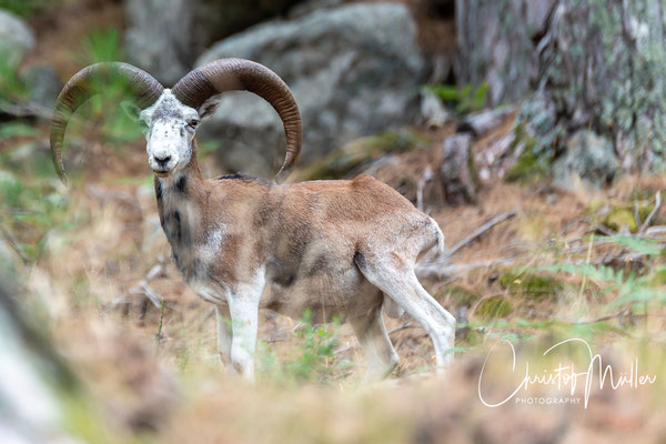 With some luck you can see the European mufflon (ovis orientalis musimon) or some other wildlife of Corsica