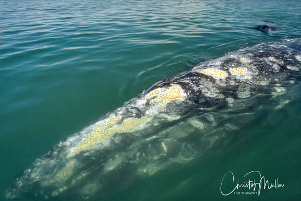 A  Gray Whale adult female approaching the skiff.  The gray whale obtained their name from the gray patches on its skin scattered with scratches,  white barnacles and orange whale lice.