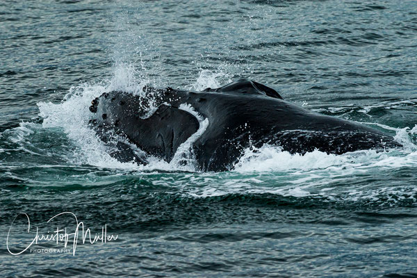 Humpback whale with the huge mouth full of krill ( small crustaceans and tiny fish)