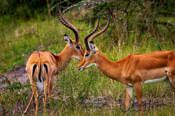 Two male Impala Antilopes (Aepyceros melampus) with characteristic lyre-shaped horns fighting for dominance, Lake Mburo National Park, Uganda