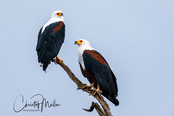 The African fish eagle (Haliaeetus vocifer), Lake Mburo National Park, Uganda