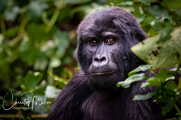 Portrait of a Mountain Gorilla Female - Habinyanja Group in Bwindi Impenetrable National Park (Uganda).