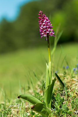 The military orchid (Orchis militaris) grows to a height of 60 cm and likes light and grows on a dry calcareous substrate
