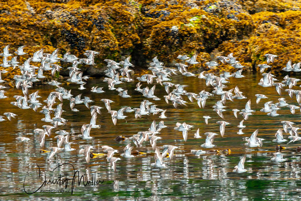 Ruddy Turnstones joining the humpback whales in the marine feasting at Spasski island.