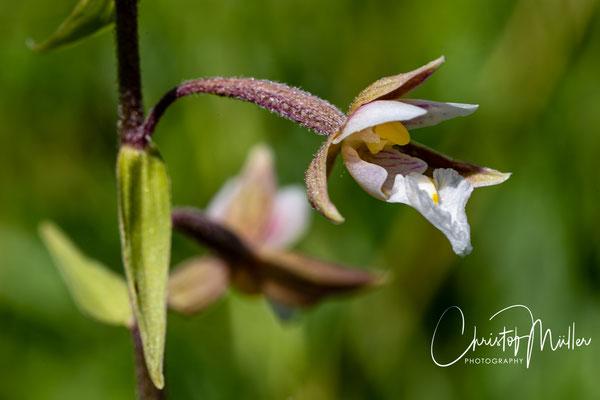 Marsch helleborine (Epipactis palustris)