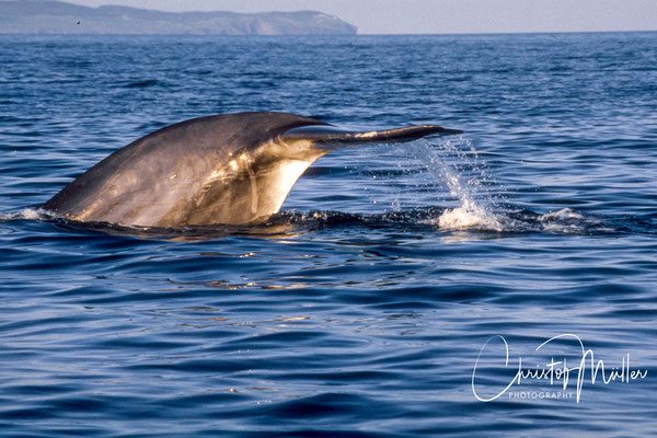 The Fin Whale (Balaenoptera physalus) is the second biggest whale species on earth. To see the fluke (tail) of a Fin Whale before diving is rather rarely seen.