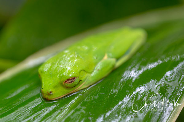 Red-eyed treefrog in camouflage mode
