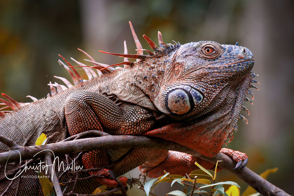 Adult male green iguana (Iguana iguana) at Sarapiqui River in Costa Rica appearing in full clour.