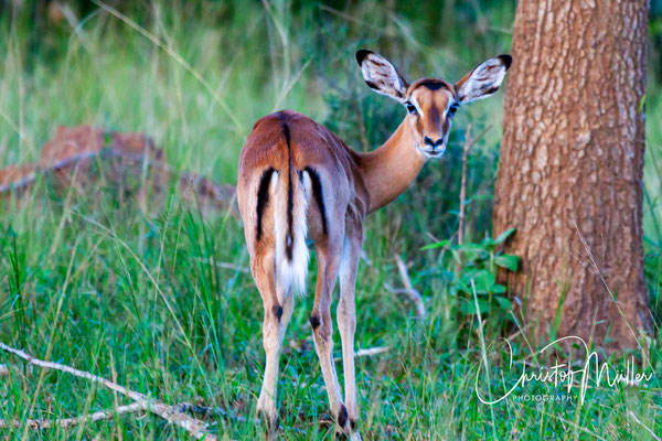 Female Impala (Aepyceros melampus) with  the characteristic tail and pattern Lake Mburo National Park, Uganda
