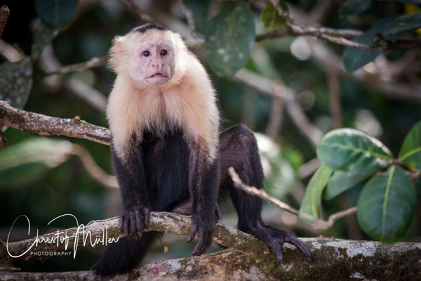 White-faced Capuchin Monkey (Cebus capucinus) close to the beach is a very common monkey at Osa Peninsula. They are considered as highly intelligent.