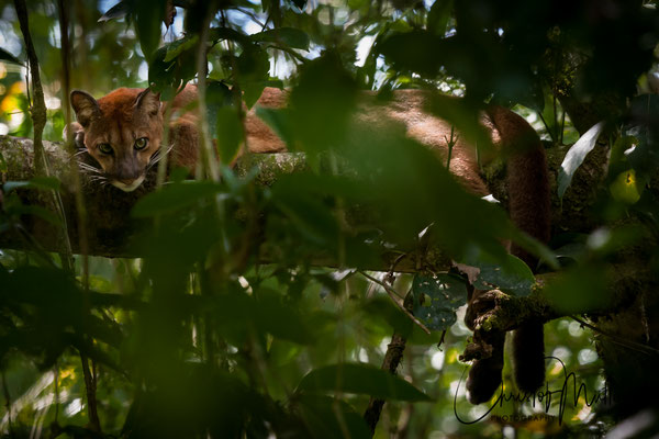 Young Cougar (Corcovado National Park (Costa Rica)