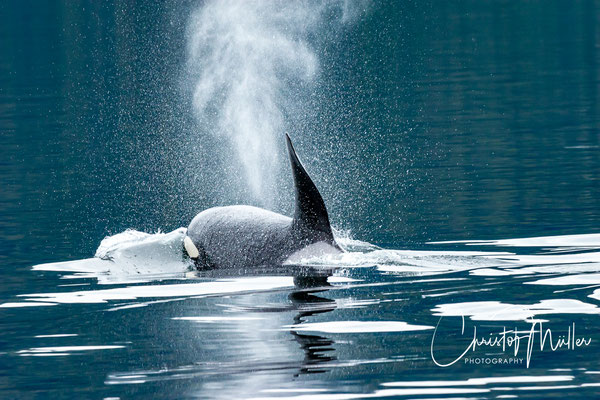 Orca or Killer whale in Seymour Canal clos to Admirality Island