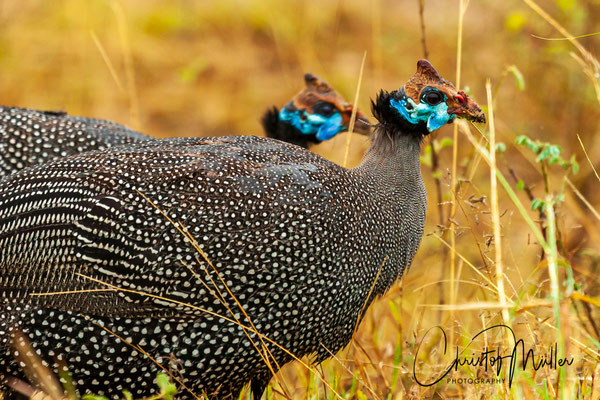 The helmeted guineafowl (Numida meleagris)