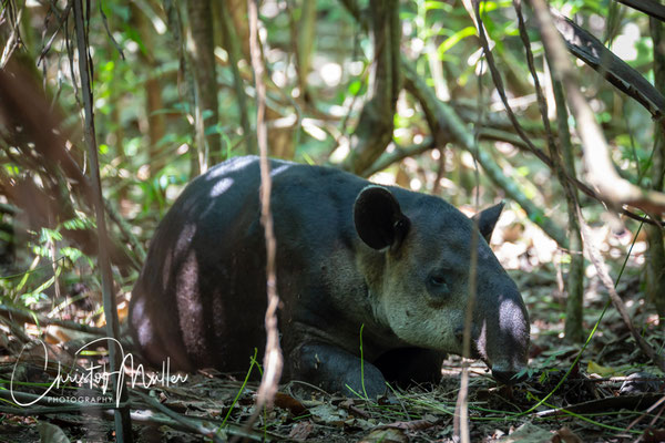 Baird's Tapir (Tapirus bairdii) is the biggest land animal in Costa Rica. Mostly active during night it has some rest during day.
