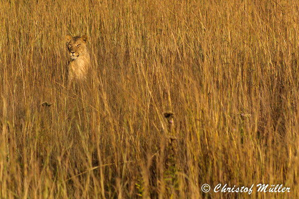 """Camouflage of Lionness"" Portrait of a lioness hiding and camouflaged in long grass, looking at the camera. (Zimbabwe)"