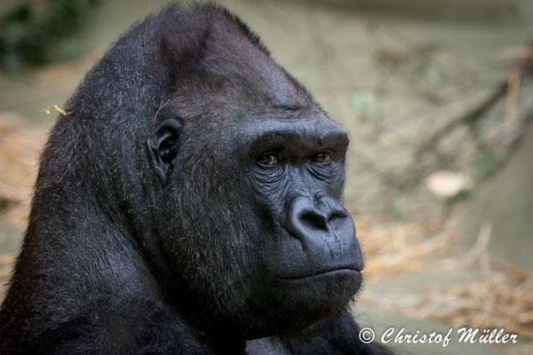 Lowland Gorilla in a zoo