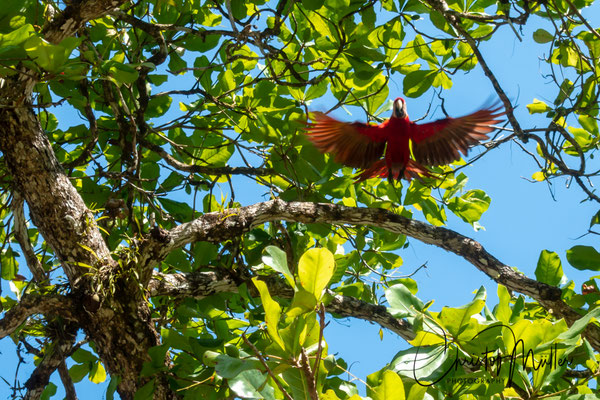 Scarlet Macaw (Ara macao cyanoptera) in flight above a tropical almond tree, one of it's favourite food in Osa Peninsula.