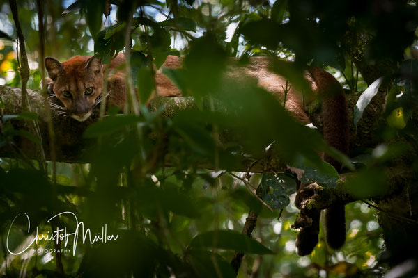 To have an encounter with a Puma (Puma concolor costaricensis) is rather a rare moment as they are endangered and difficult to spot.