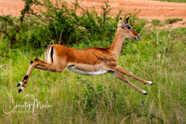 Impala (Aepyceros melampus) jumping away from the car in Lake Mburo National, Park Uganda