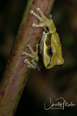The Masked Tree Frog (Smilisca phaeota)