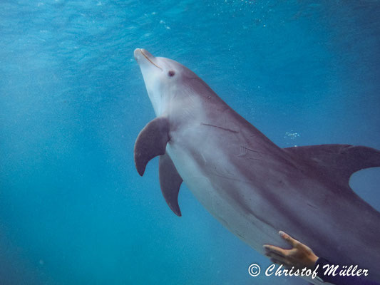 Bottlenose Dolphin in a Dolphinarium in Curaçao