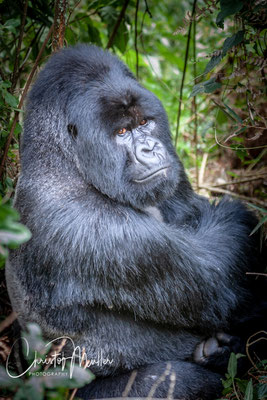 "Face to face to ""Agashya"" the Siverback of Group 13 in Rwanda Volcanoes National Park"