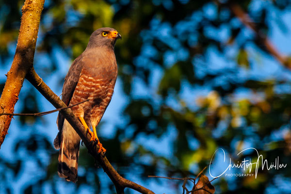 The Roadside Hawk is so named due to its preference for the edges of forest; it occurs in many different environments, including the edges of tropical lowland forest
