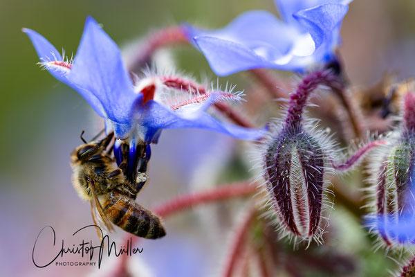 Bee pollination of Aquilegia