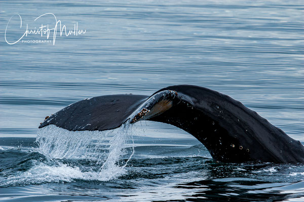 another name for the tail is fluke. Humpback Whales lift them normally before diving.