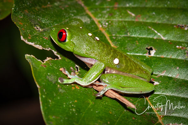 Red-eyed treefrog is very common in south-west Costa Rica but is also common in other places in Central America.